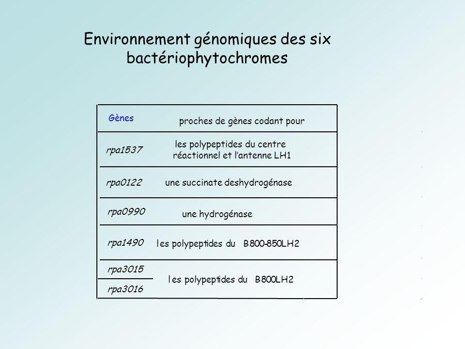 Environnement génomiques des six bactériophytochromes Gènes rpa1537 les polypeptides du centre réactionnel et lantenne LH1 rpa0122une succinate deshydrogénase rpa0990 rpa1490 les polypeptides du B800-850LH2 rpa3015 rpa3016 les polypeptides du B800LH2 proches de gènes codant pour une hydrogénase