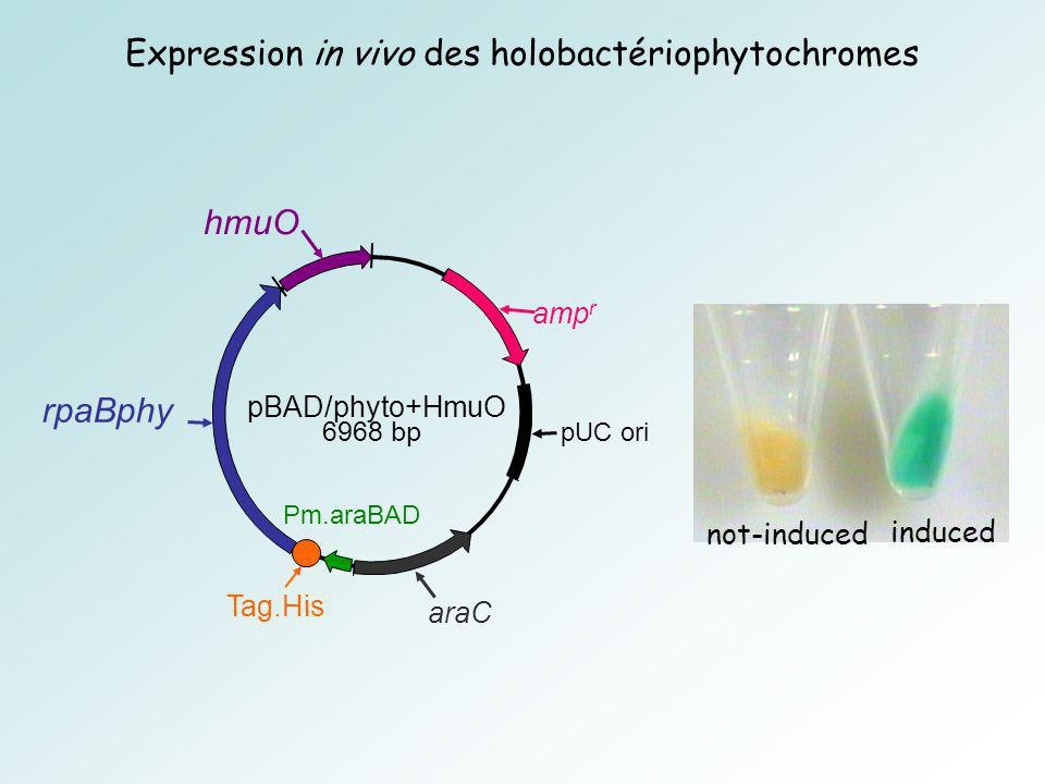pBAD/phyto+HmuO 6968 bp rpaBphy amp r araC hmuO Tag.His Pm.araBAD pUC ori Expression in vivo des holobactériophytochromes not-induced induced