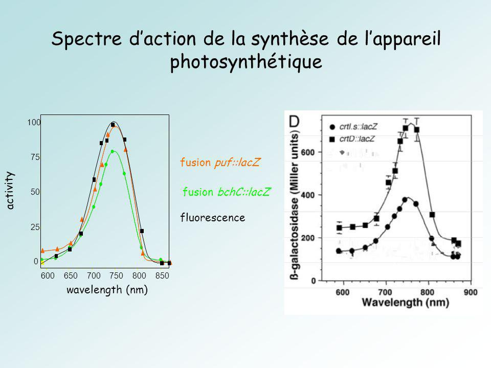 fusion bchC::lacZ wavelength (nm) 0 25 50 75 100 600650700750800850 activity fusion puf::lacZ fluorescence