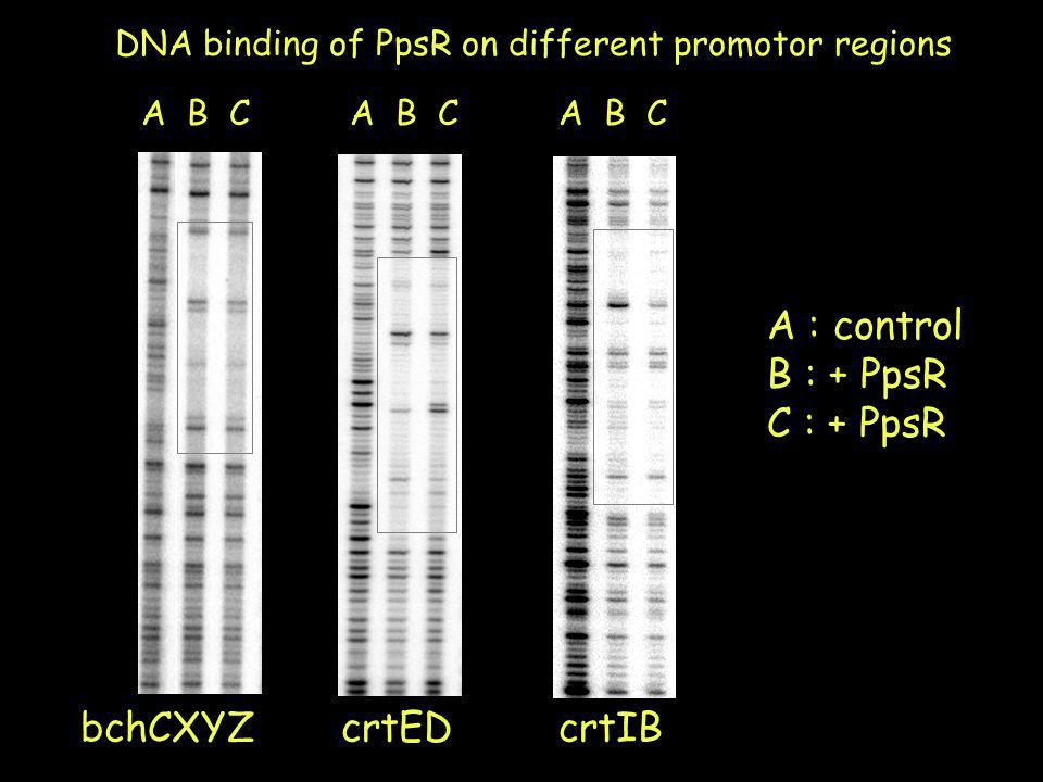 DNA binding of PpsR on different promotor regions A : control B : + PpsR C : + PpsR bchCXYZ A B C crtIBcrtED