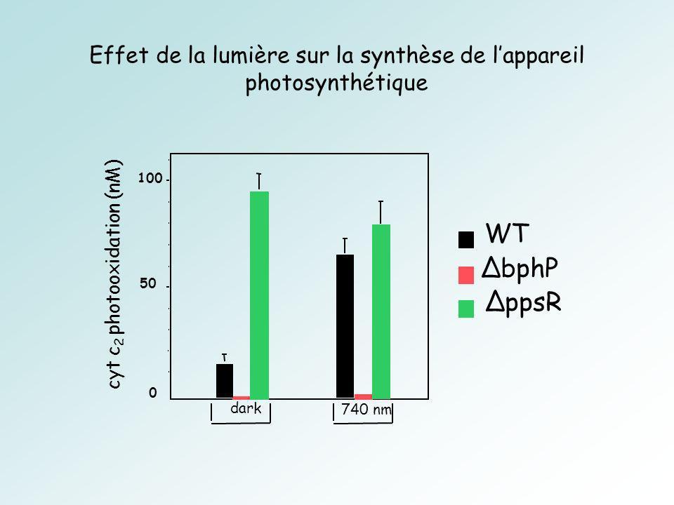 Effet de la lumière sur la synthèse de lappareil photosynthétique 0 50 100 dark 740 nm bphP WT ppsR cyt c 2 photooxidation (nM)