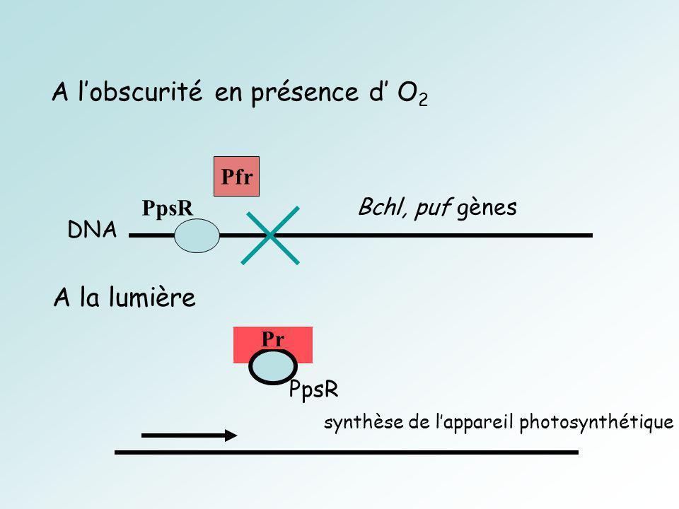 Pfr PpsR Bchl, puf gènes DNA A lobscurité en présence d O 2 Pr synthèse de lappareil photosynthétique A la lumière PpsR