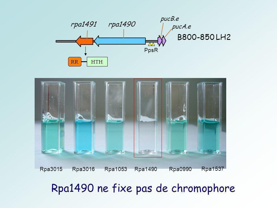rpa1490 rpa1491 B800-850 LH2 pucA.e pucB.e PpsR RRHTH Rpa1490 ne fixe pas de chromophore Rpa3015Rpa3016Rpa1053Rpa1490Rpa0990 Rpa1537