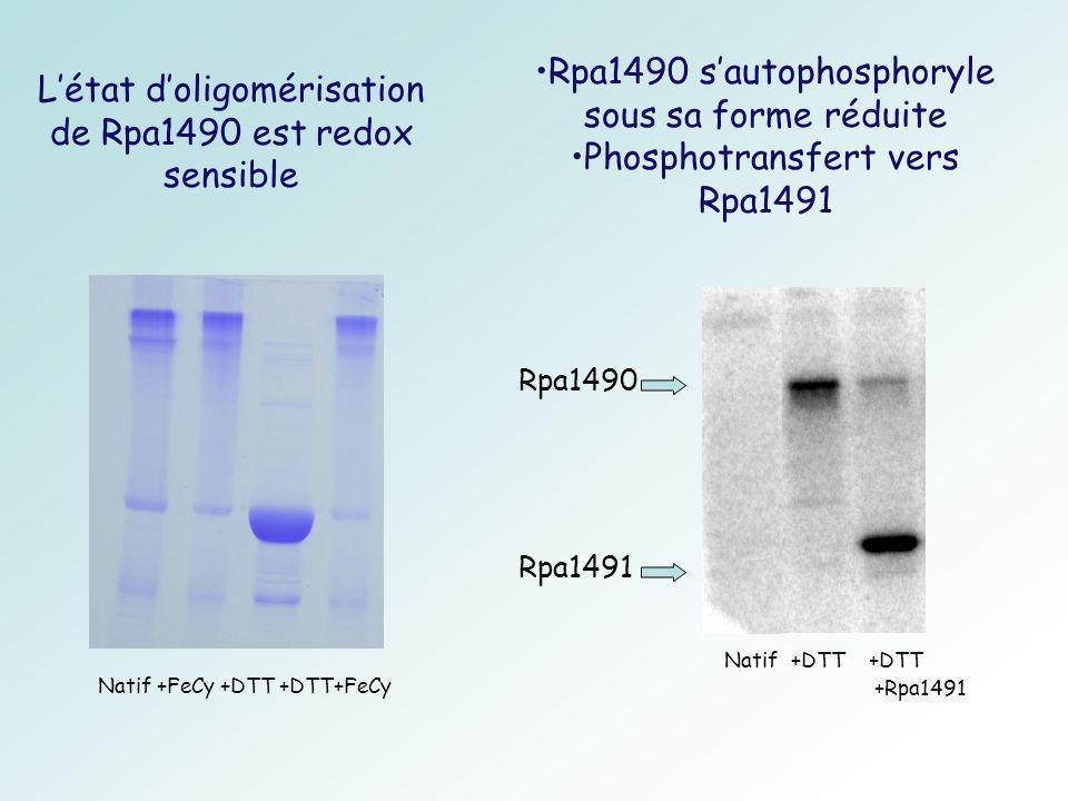 Létat doligomérisation de Rpa1490 est redox sensible Rpa1491 Natif +DTT +DTT +Rpa1491 Rpa1490 sautophosphoryle sous sa forme réduite Phosphotransfert vers Rpa1491 Natif +FeCy +DTT +DTT+FeCy Rpa1490
