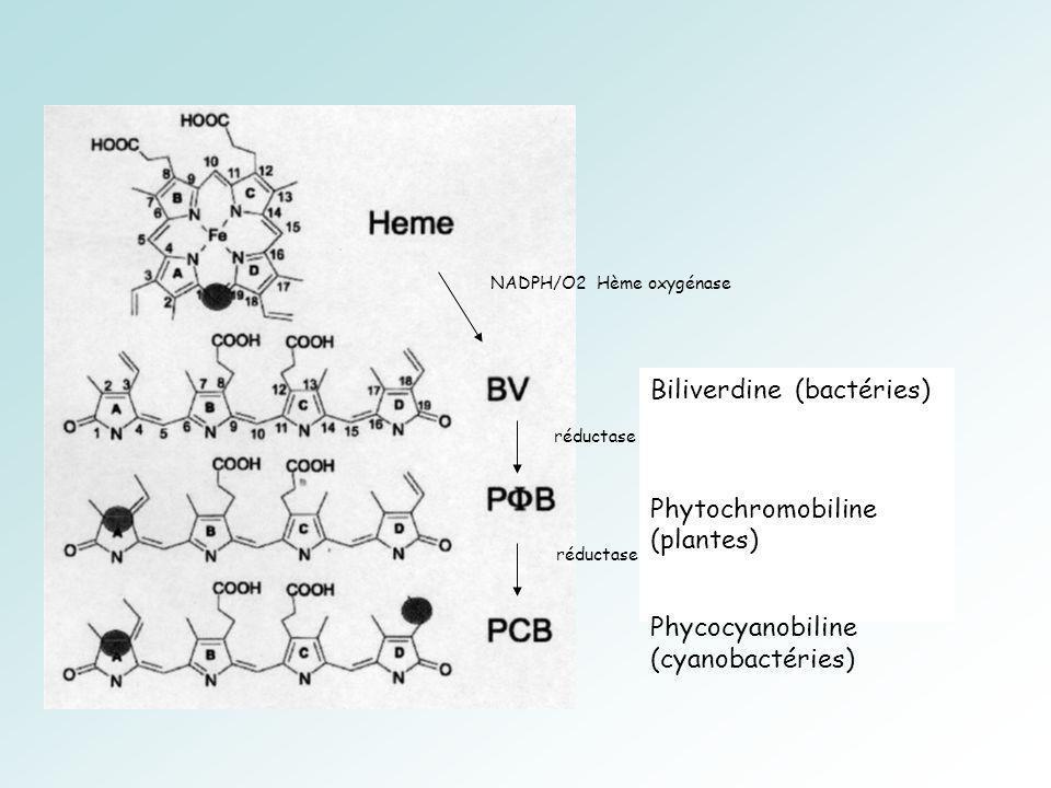 Biliverdine (bactéries) Phytochromobiline (plantes) Phycocyanobiline (cyanobactéries) NADPH/O2 Hème oxygénase réductase