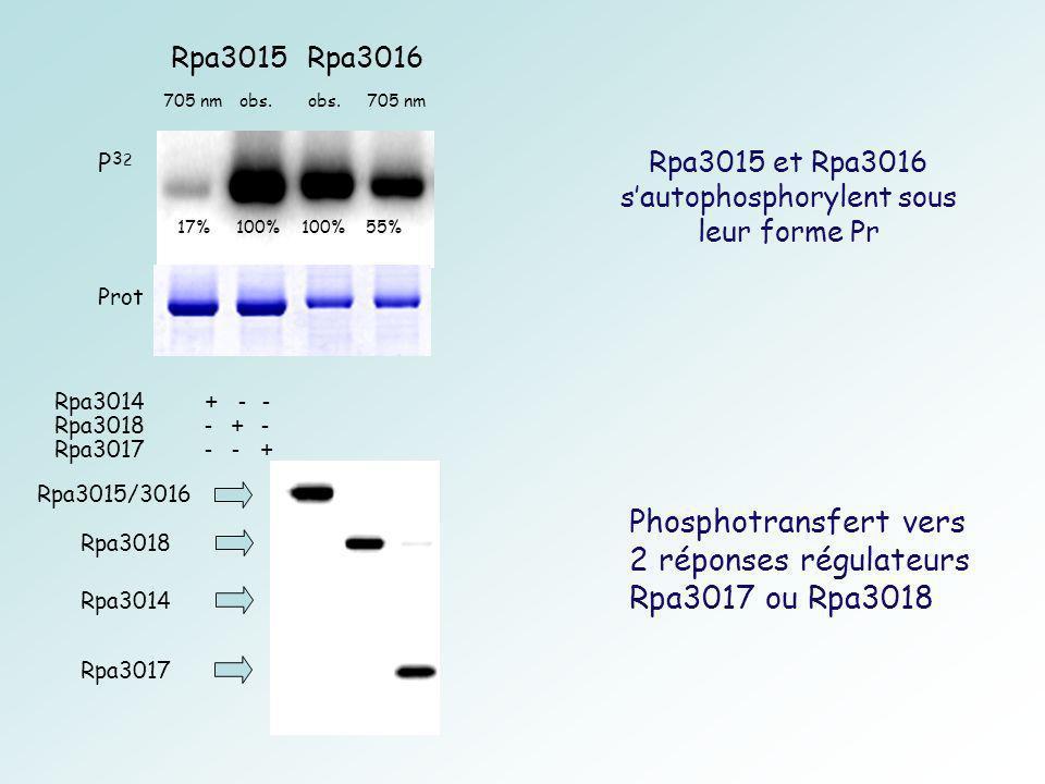 Rpa3015 et Rpa3016 sautophosphorylent sous leur forme Pr Rpa3015/3016 Rpa3018 Rpa3017 Rpa3014 Phosphotransfert vers 2 réponses régulateurs Rpa3017 ou Rpa3018 Rpa3014 + - - Rpa3018 - + - Rpa3017 - - + Rpa3016Rpa3015 705 nm obs.