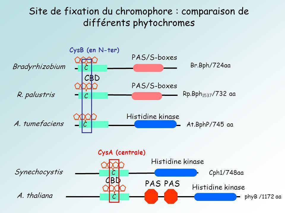 Site de fixation du chromophore : comparaison de différents phytochromes R.