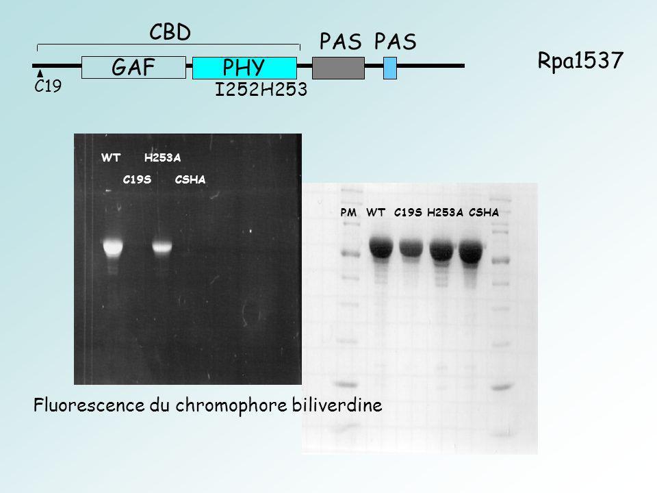 WT H253A PM WT C19S H253A CSHA C19S CSHA C19 GAF PHY CBD PAS Rpa1537 I252H253 Fluorescence du chromophore biliverdine