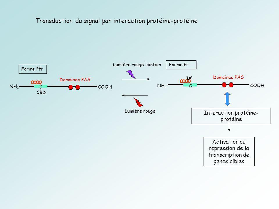 CBD C Forme Pfr NH 2 COOH Forme Pr C NH 2 COOH Lumière rouge lointain Lumière rouge Activation ou répression de la transcription de gènes cibles Lumière rouge Domaines PAS Interaction protéine- protéine Transduction du signal par interaction protéine-protéine