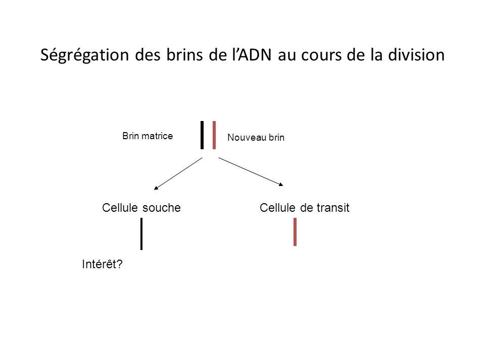 Division symétrique ou asymétrique? Lésions de lintestin: divisions symétriques blessure dédifferenciation migration prolifération différenciation