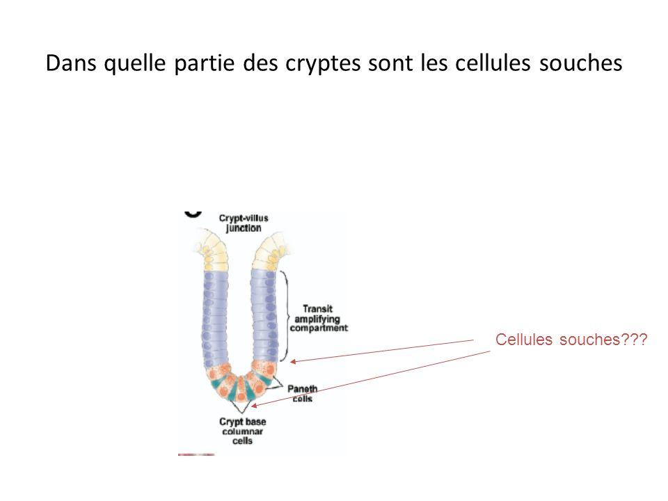 Ségrégation des brins de lADN au cours de la division Brin matrice Nouveau brin Cellule soucheCellule de transit Intérêt?