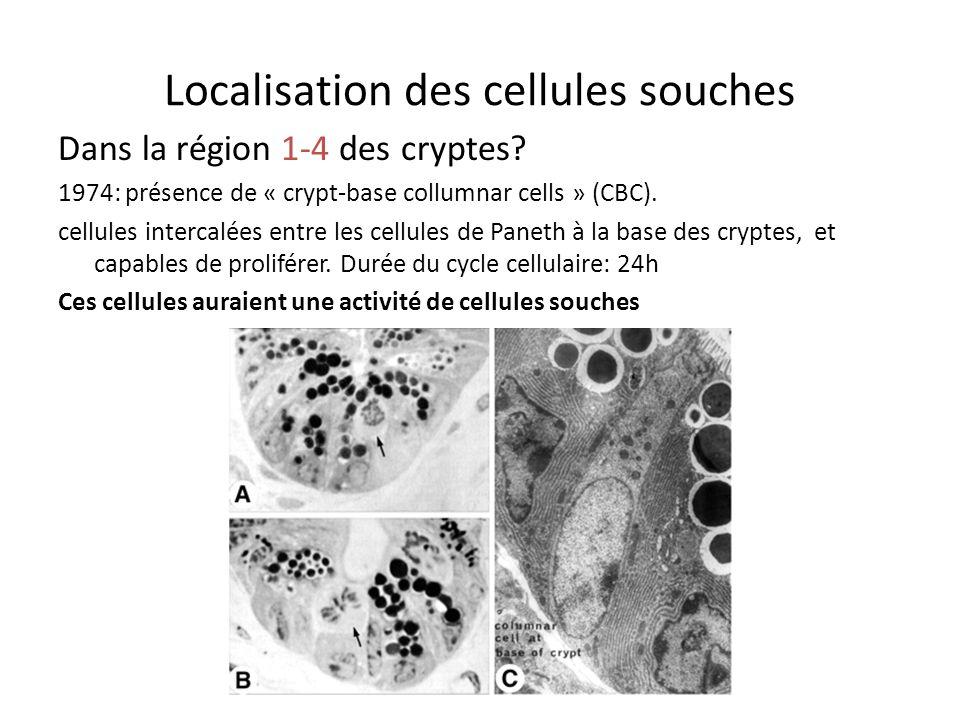 Dans quelle partie des cryptes sont les cellules souches Cellules souches???