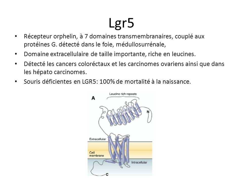 Donc… Les cellules souches ne sont pas encore véritablement caractérisées dun point de vue fonctionnel dans lintestin (mi-2007). Pas ce cellules souch