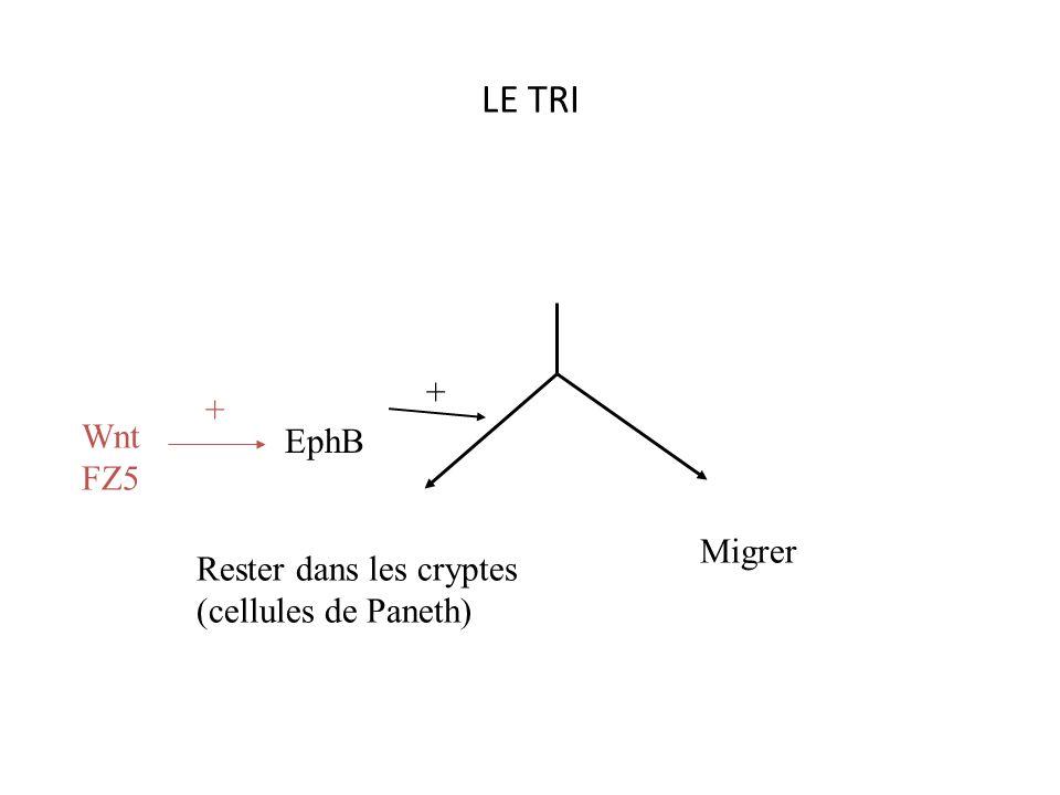 Spécification implication de math-1 et de hes1 Cellules absorbantes entérocytes Cellules secretrices Notch + Math-1-Math-1