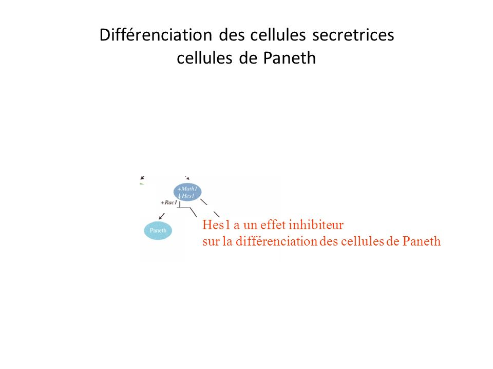 Différenciation des cellules sécrétrices cellules enteroendocrines ngn3 Notch