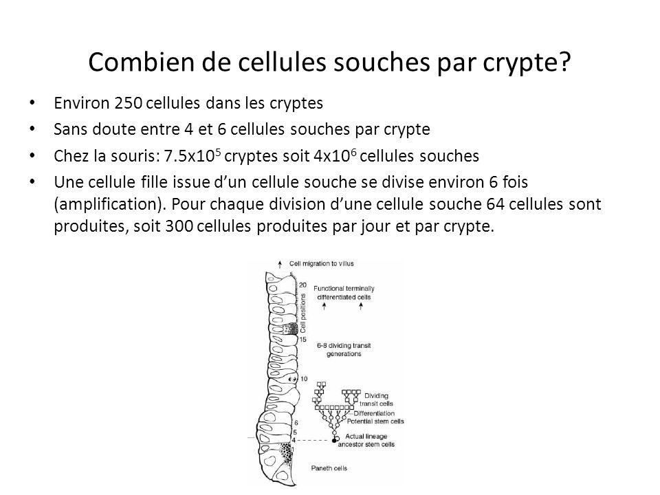 Les cellules souches sont localisées dans les cryptes