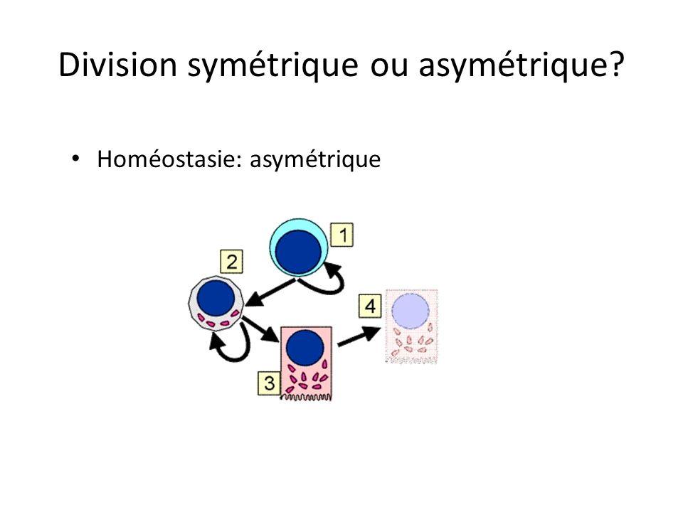 Une cellule souche, combien de divisions… Chez la souris de laboratoire, le cycle cellulaire dune cellule souche serait de 24 heures…. Donc environ 10
