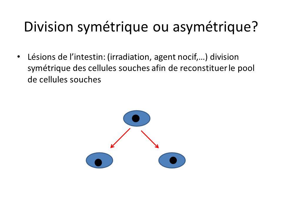 Division symétrique ou asymétrique? Homéostasie: asymétrique
