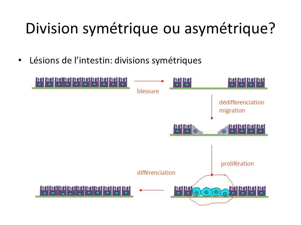 Division symétrique ou asymétrique? Lésions de lintestin: (irradiation, agent nocif,…) division symétrique des cellules souches afin de reconstituer l
