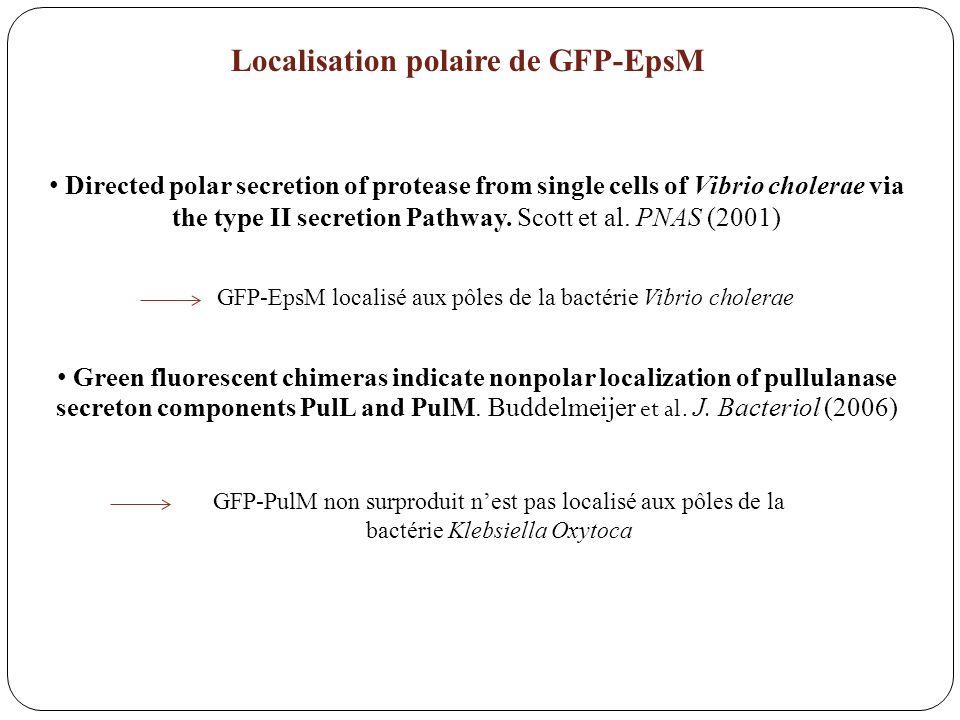 Directed polar secretion of protease from single cells of Vibrio cholerae via the type II secretion Pathway. Scott et al. PNAS (2001) Green fluorescen