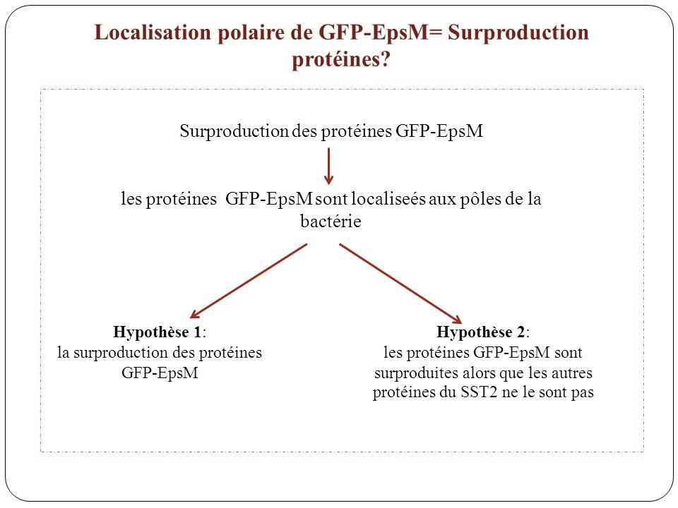 Surproduction des protéines GFP-EpsM les protéines GFP-EpsM sont localiseés aux pôles de la bactérie Hypothèse 1: la surproduction des protéines GFP-E
