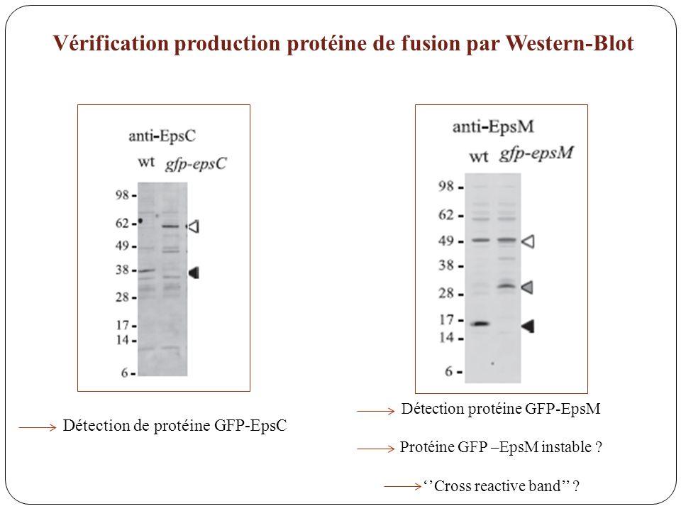 Vérification production protéine de fusion par Western-Blot Détection de protéine GFP-EpsC Détection protéine GFP-EpsM Protéine GFP –EpsM instable ? C