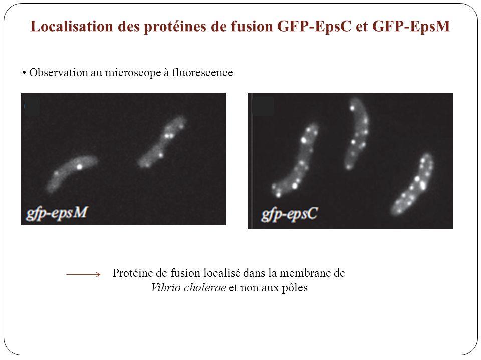 Localisation des protéines de fusion GFP-EpsC et GFP-EpsM Protéine de fusion localisé dans la membrane de Vibrio cholerae et non aux pôles Observation