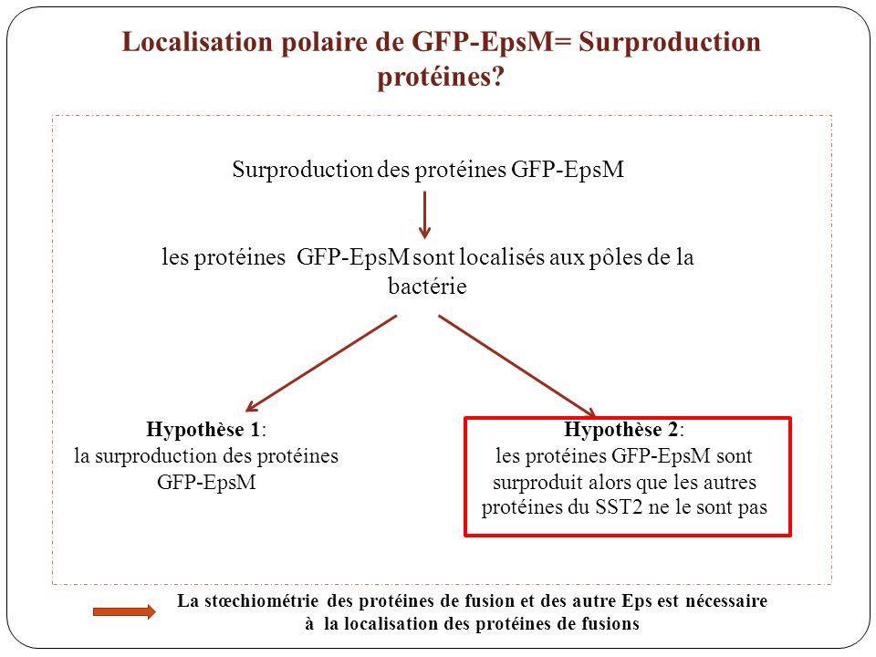 Surproduction des protéines GFP-EpsM les protéines GFP-EpsM sont localisés aux pôles de la bactérie Hypothèse 1: la surproduction des protéines GFP-Ep