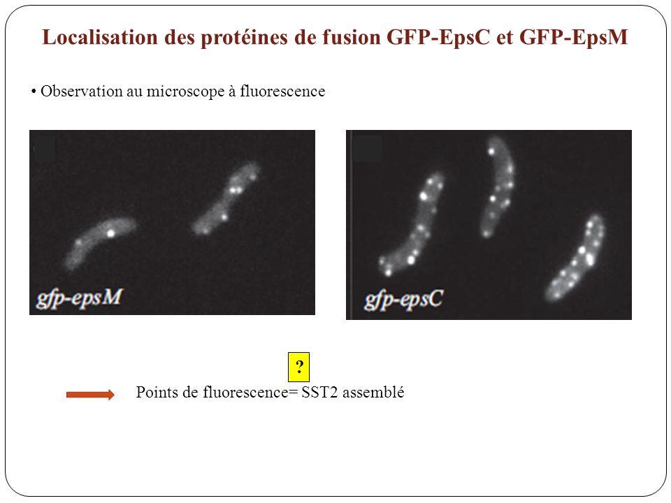 Localisation des protéines de fusion GFP-EpsC et GFP-EpsM Points de fluorescence= SST2 assemblé ? Observation au microscope à fluorescence