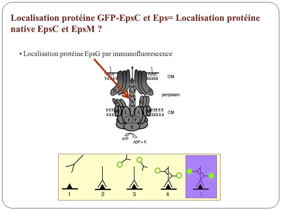 Localisation protéine EpsG par immunofluorescence Localisation protéine GFP-EpsC et Eps= Localisation protéine native EpsC et EpsM ?