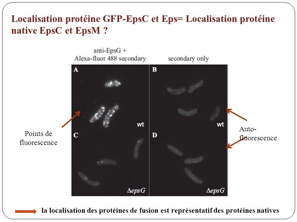 Localisation protéine GFP-EpsC et Eps= Localisation protéine native EpsC et EpsM ? Points de fluorescence la localisation des protéines de fusion est