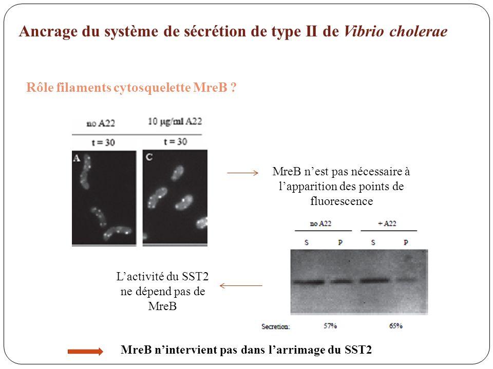 Ancrage du système de sécrétion de type II de Vibrio cholerae Rôle filaments cytosquelette MreB ? MreB nest pas nécessaire à lapparition des points de