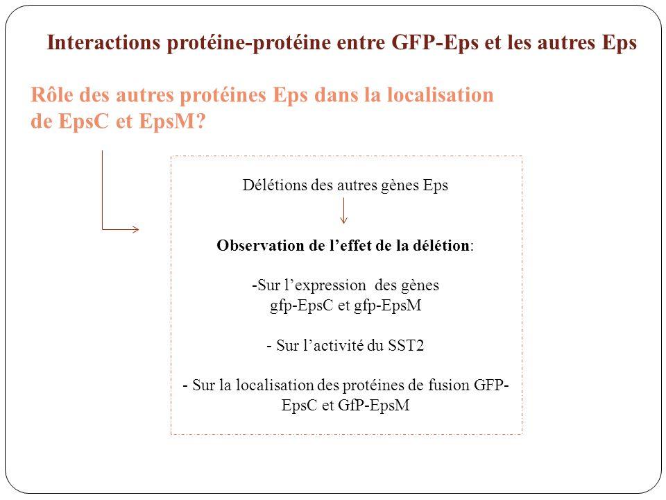 Interactions protéine-protéine entre GFP-Eps et les autres Eps Rôle des autres protéines Eps dans la localisation de EpsC et EpsM? Délétions des autre