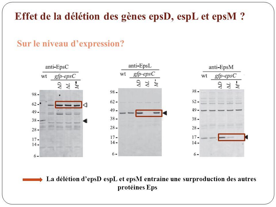 La délétion depsD espL et epsM entraine une surproduction des autres protéines Eps Effet de la délétion des gènes epsD, espL et epsM ?