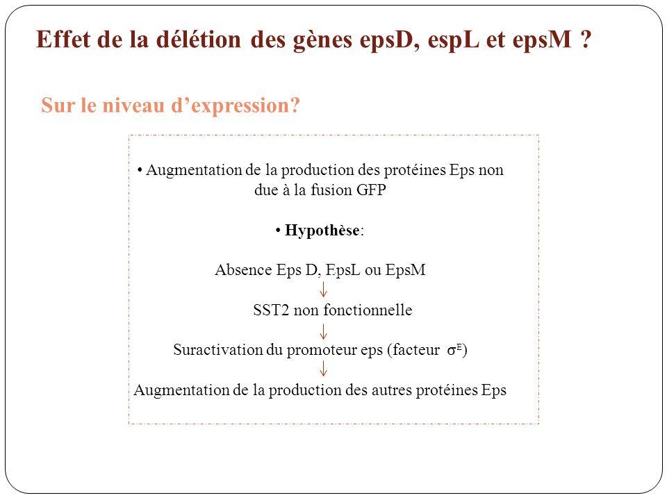 Sur le niveau dexpression? Augmentation de la production des protéines Eps non due à la fusion GFP Hypothèse: Absence Eps D, EpsL ou EpsM SST2 non fon