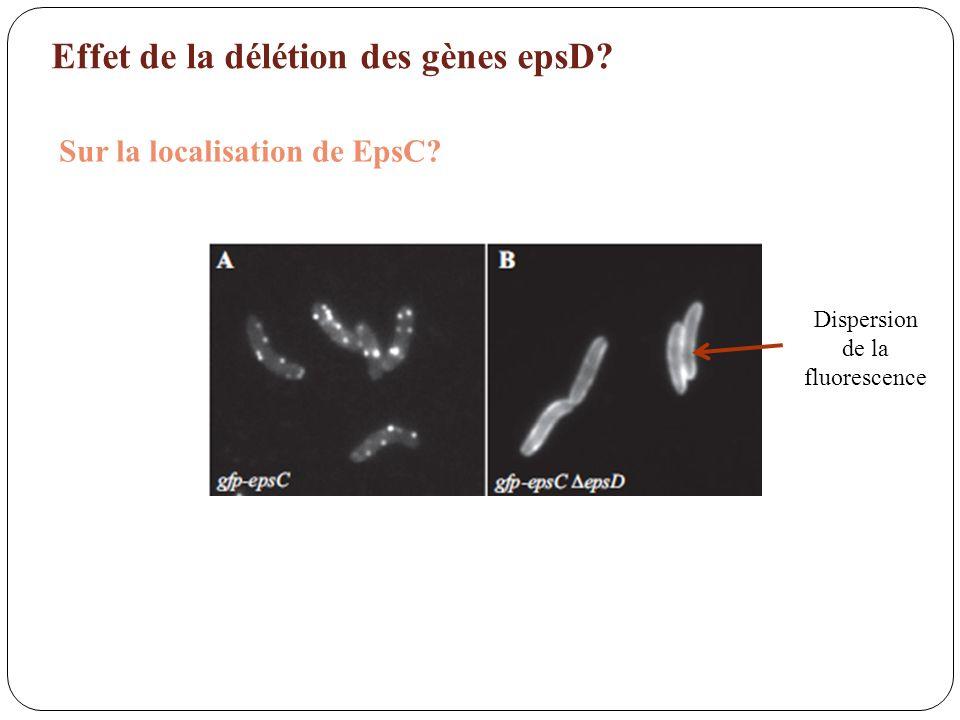 Effet de la délétion des gènes epsD? Sur la localisation de EpsC? Dispersion de la fluorescence