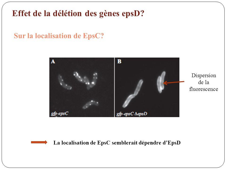 Effet de la délétion des gènes epsD? Sur la localisation de EpsC? Dispersion de la fluorescence La localisation de EpsC semblerait dépendre dEpsD