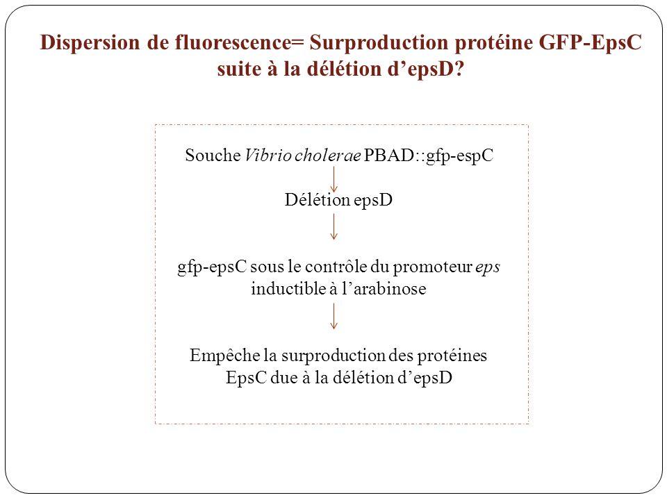 Souche Vibrio cholerae PBAD::gfp-espC Délétion epsD gfp-epsC sous le contrôle du promoteur eps inductible à larabinose Empêche la surproduction des pr