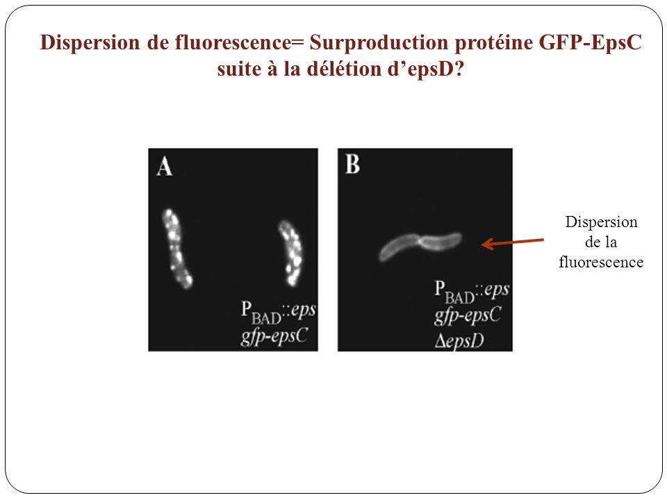Dispersion de la fluorescence Dispersion de fluorescence= Surproduction protéine GFP-EpsC suite à la délétion depsD?
