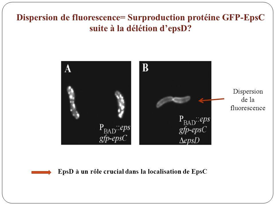Dispersion de la fluorescence EpsD à un rôle crucial dans la localisation de EpsC Dispersion de fluorescence= Surproduction protéine GFP-EpsC suite à