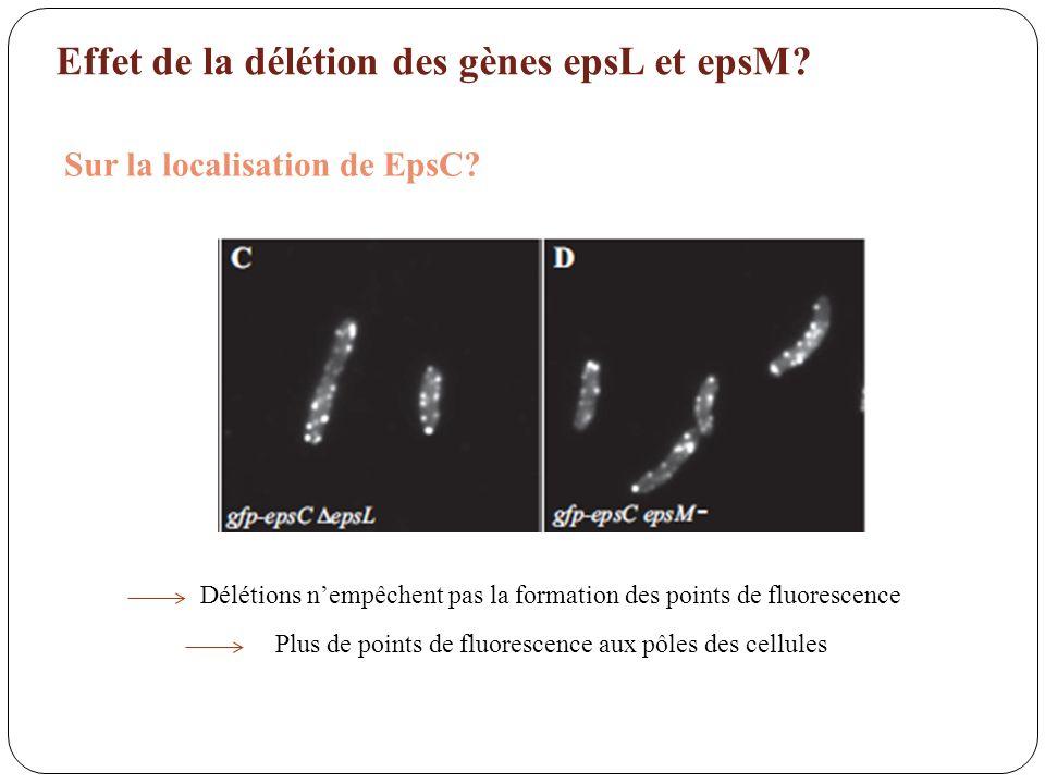 Effet de la délétion des gènes epsL et epsM? Sur la localisation de EpsC? Plus de points de fluorescence aux pôles des cellules Délétions nempêchent p