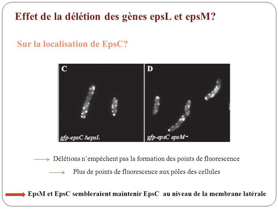 Effet de la délétion des gènes epsL et epsM? Sur la localisation de EpsC? Délétions nempêchent pas la formation des points de fluorescence Plus de poi