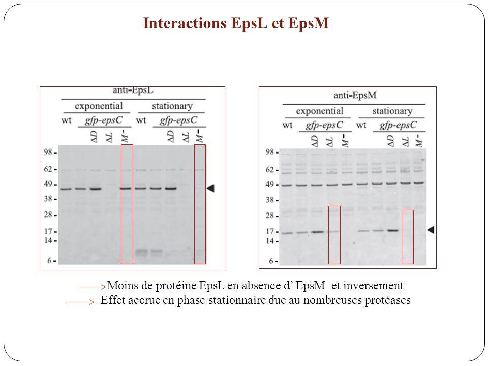 Interactions EpsL et EpsM Moins de protéine EpsL en absence d EpsM et inversement Effet accrue en phase stationnaire due au nombreuses protéases