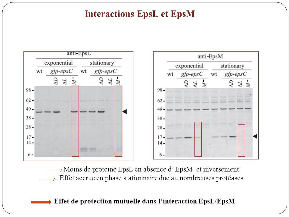 Interactions EpsL et EpsM Moins de protéine EpsL en absence d EpsM et inversement Effet accrue en phase stationnaire due au nombreuses protéases Effet