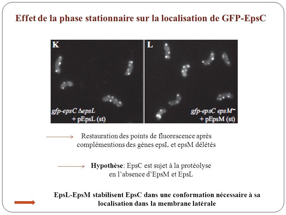 Effet de la phase stationnaire sur la localisation de GFP-EpsC Restauration des points de fluorescence après complémentions des gènes epsL et epsM dél