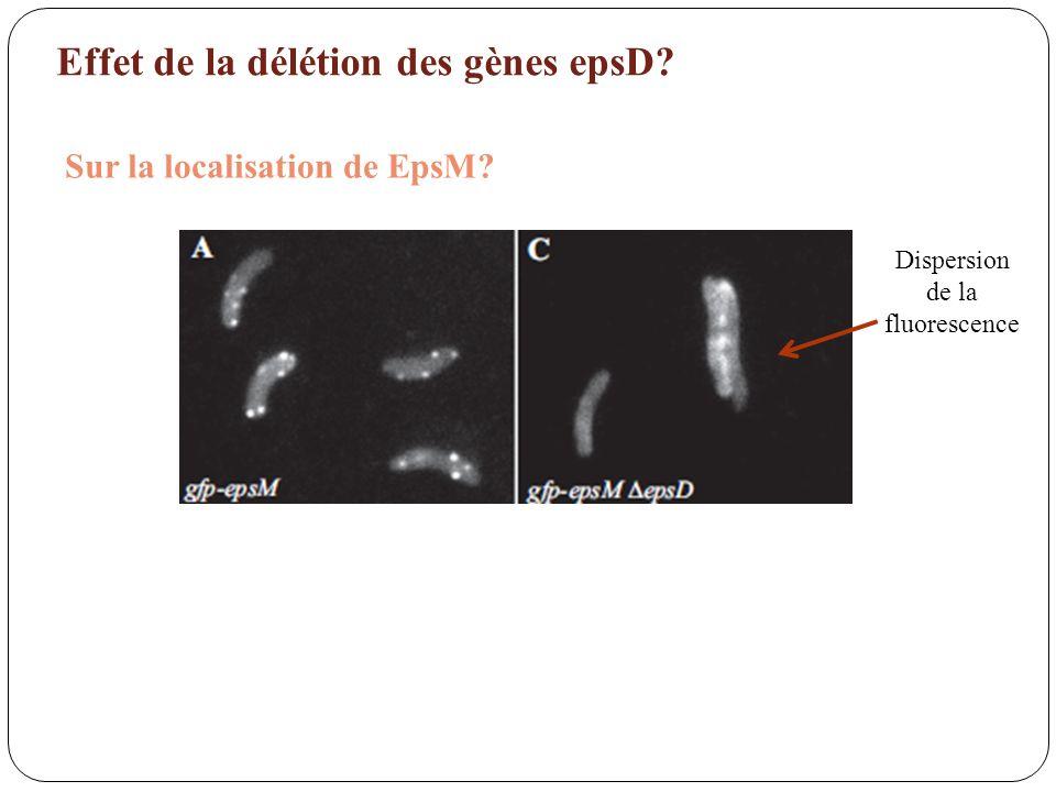 Effet de la délétion des gènes epsD? Sur la localisation de EpsM? Dispersion de la fluorescence
