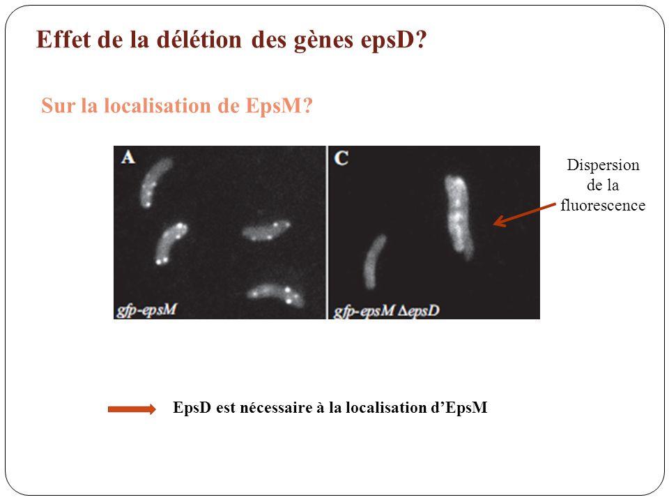 Effet de la délétion des gènes epsD? Sur la localisation de EpsM? Dispersion de la fluorescence EpsD est nécessaire à la localisation dEpsM