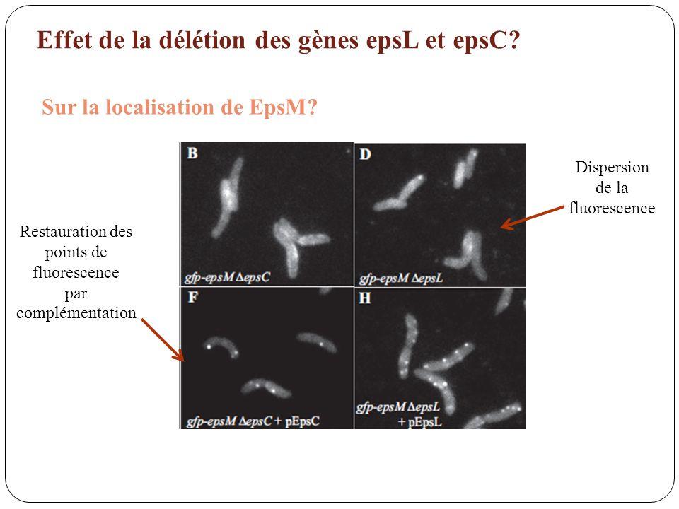Effet de la délétion des gènes epsL et epsC? Sur la localisation de EpsM? Dispersion de la fluorescence Restauration des points de fluorescence par co
