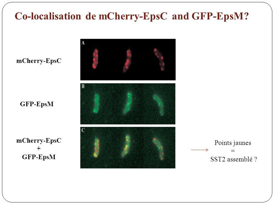 Co-localisation de mCherry-EpsC and GFP-EpsM? mCherry-EpsC GFP-EpsM mCherry-EpsC + GFP-EpsM Points jaunes = SST2 assemblé ?