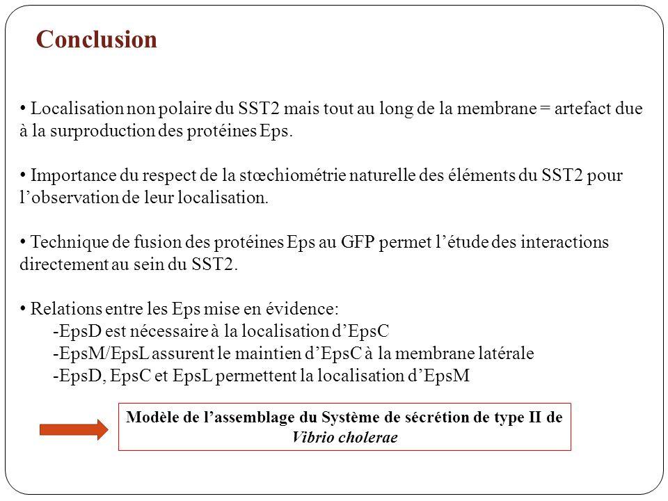 Conclusion Localisation non polaire du SST2 mais tout au long de la membrane = artefact due à la surproduction des protéines Eps. Importance du respec